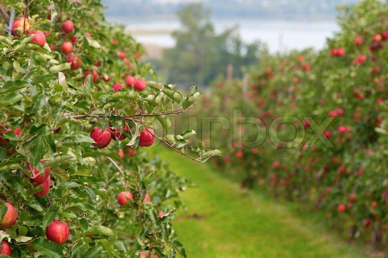 Fall Farm Wallpaper Apple Garden Full Of Riped Red Apples Stock Photo