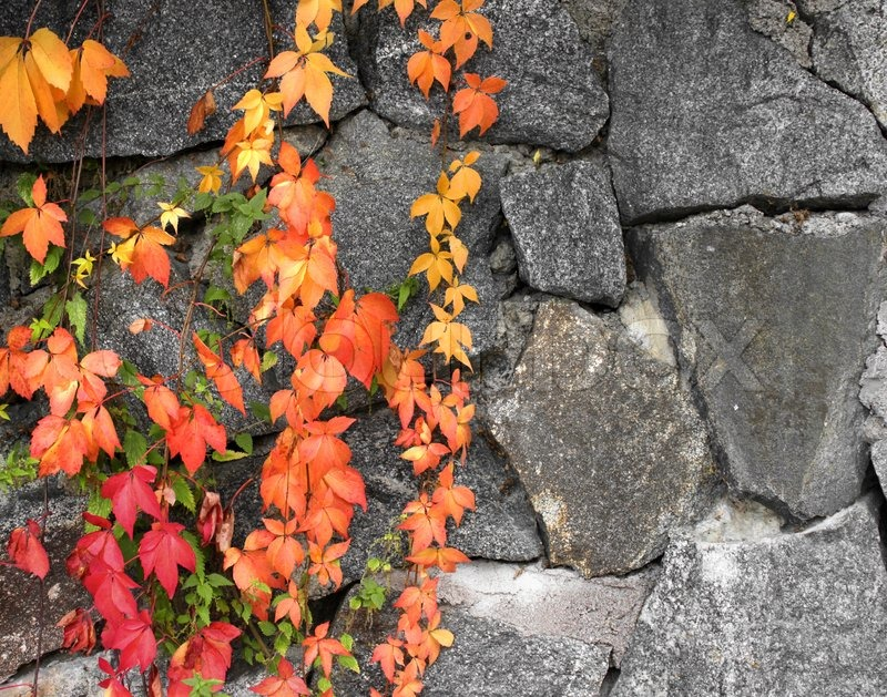 Ireland Fall Wallpaper Grapevine Autumn Colors On Grey Stone Wall Background