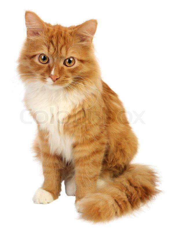 Cute White Kittens With Blue Eyes Wallpaper Junge Ingwer Katze Auf Einem Wei 223 En Hintergrund