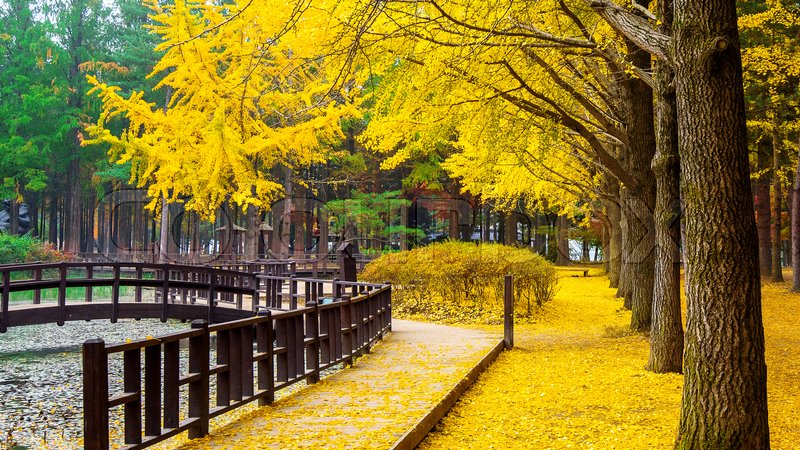 Fall Autumn Wallpaper Free Autumn With Ginkgo Tree In Nami Island Korea Stock