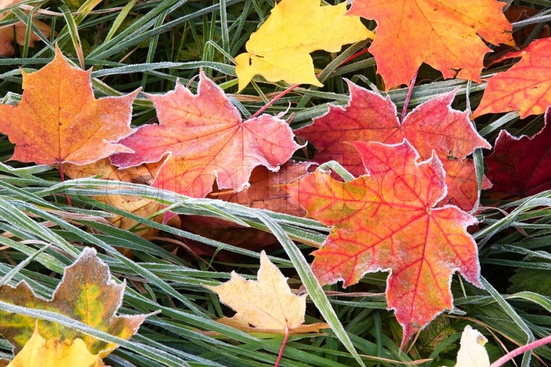 Maple Leaf Wallpaper For Fall Season Frosty Colourfull Autumn Leaves Lying On The Grass Stock