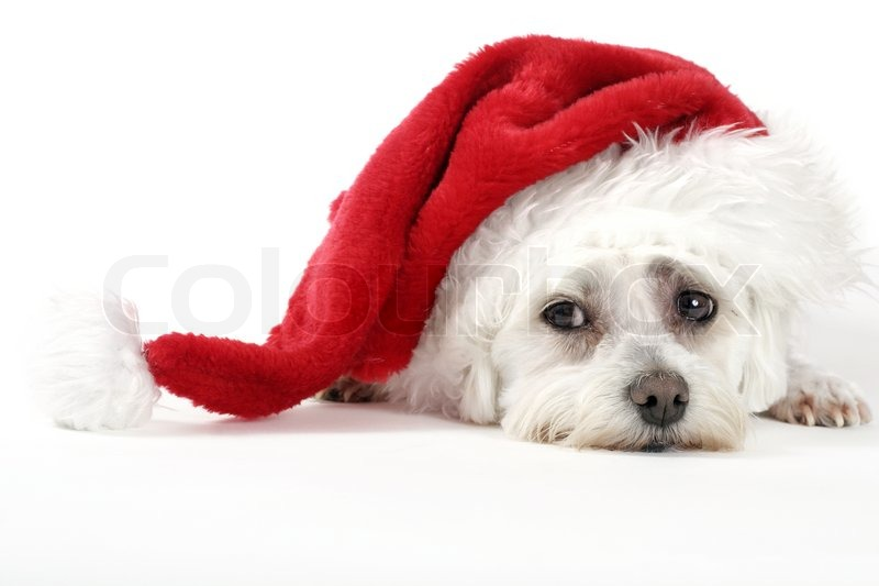 Cute Baby Animals Wallpaper Icon Christmas Pooch Puppy Dog Resting With A Santa Hat On A