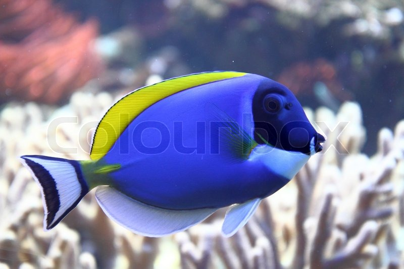 Exotis sea fish with the blue and Stock Photo Colourbox