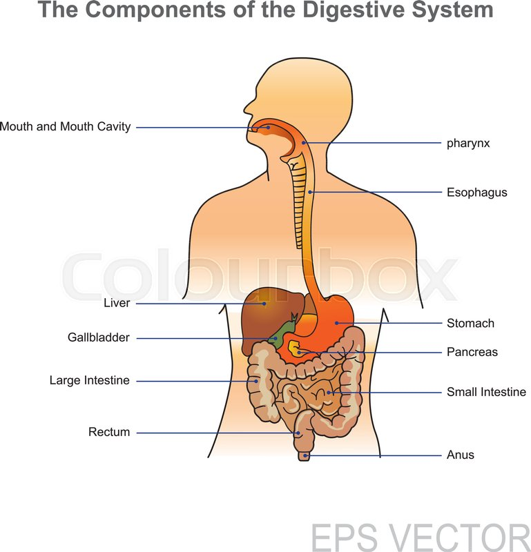 The human digestive system consists of Stock Vector Colourbox