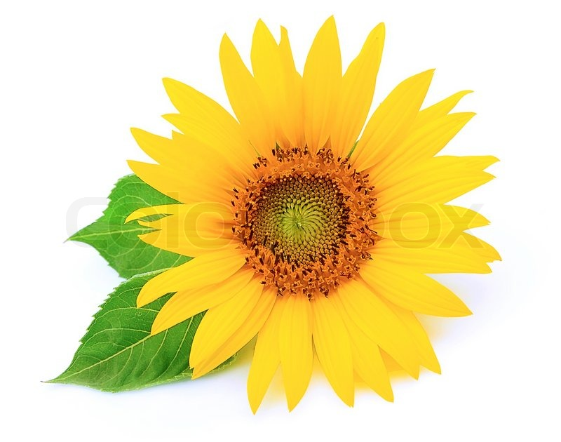 Sunflower with leaves on a white Stock Photo Colourbox