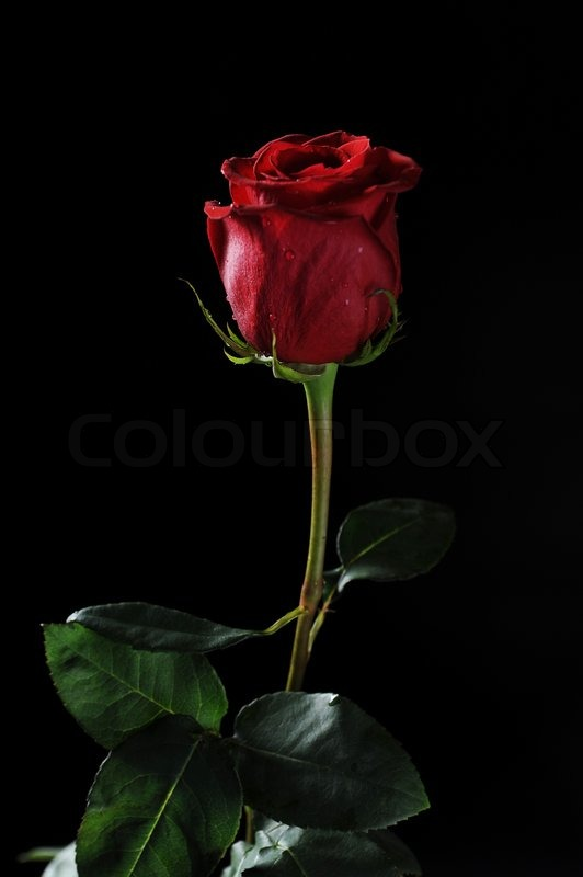 Drop Of Water Falling From A Leaf Dark Background Wallpaper Beautiful Red Rose With Dew Drops On A Black Background
