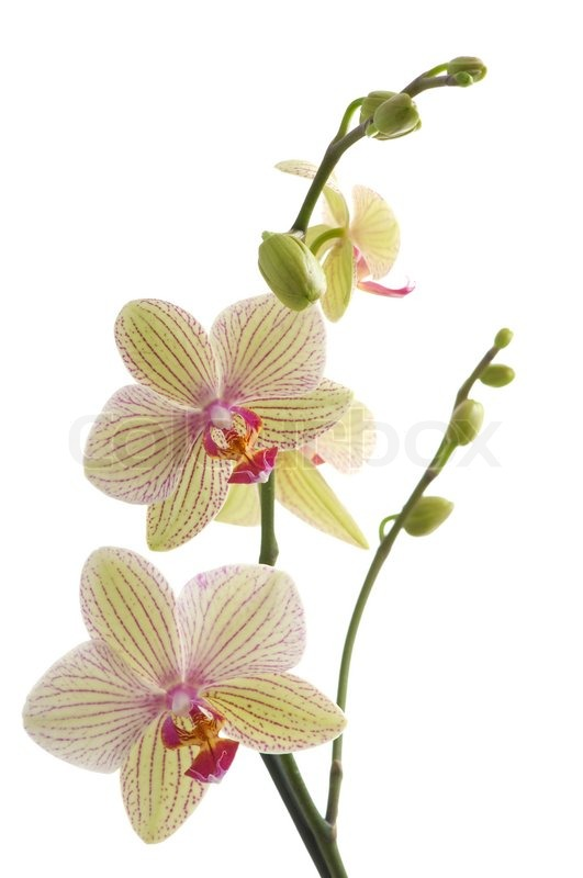 Orchidee Tak Branch Of Orchid Flower Phalaenopsis On White Background