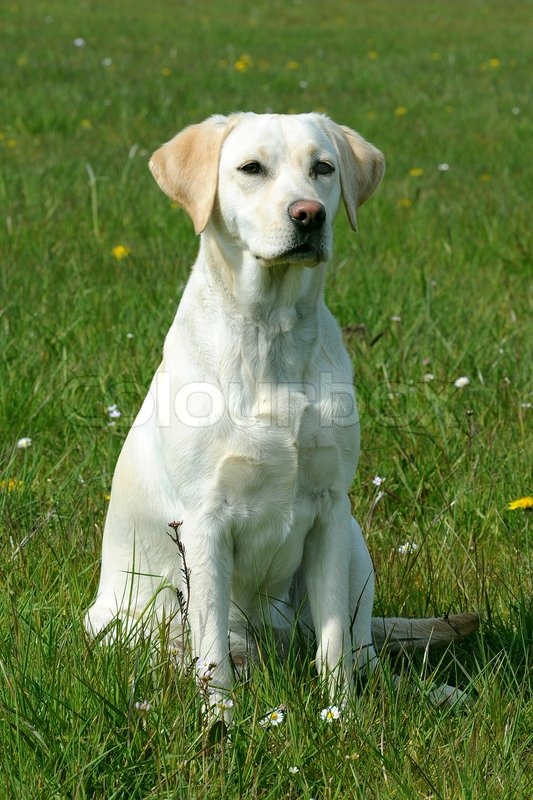 Image For Golden Retriever And Lab Mix
