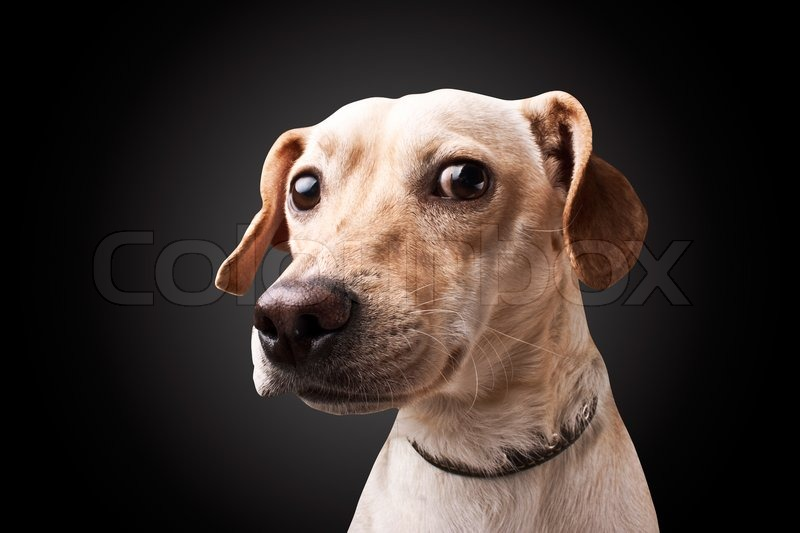 Cute Dog Wallpaper Backgrounds Dog On Black Background Stock Photo Colourbox