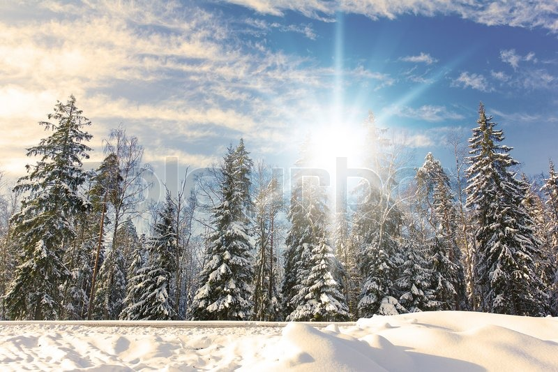 Download Snow Fall Animated Wallpaper Spruce Trees Covered By Snow On A Sunny Winter Day Stock