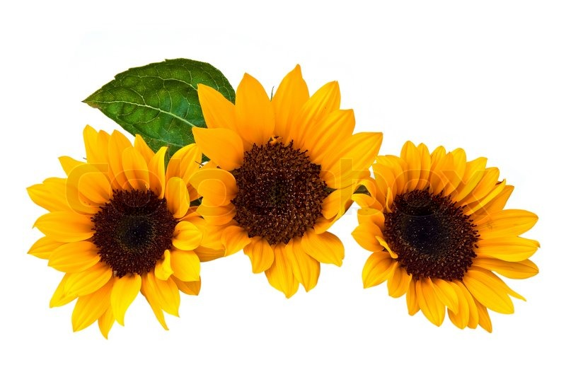 Fall Sunflower Wallpaper Sunflowers Isolated On A White Background Stock Photo