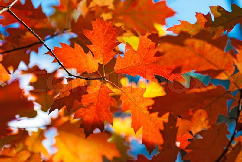New England Fall Foliage Desktop Wallpaper Autumn Red Oak Leaves Stock Photo Colourbox
