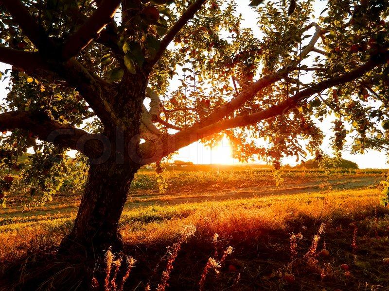 Free Wallpaper Fall Scenes Autumn Sunset On Beautiful Apple Orchard Stock Photo