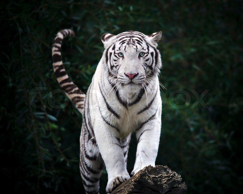Cute Baby Tiger Wallpaper Frygtelige Blik Hvid Tiger Stock Foto Colourbox