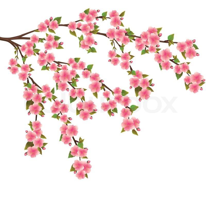 Sakura Falling Live Wallpaper Sakura Blomstre Japansk Kirseb 230 Rtr 230 Over Hvide Stock