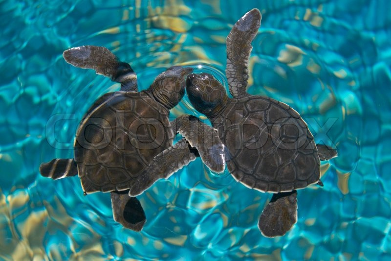 Cute Funny Babies Hd Wallpapers Baby Sea Turtles In Water Stock Photo Colourbox