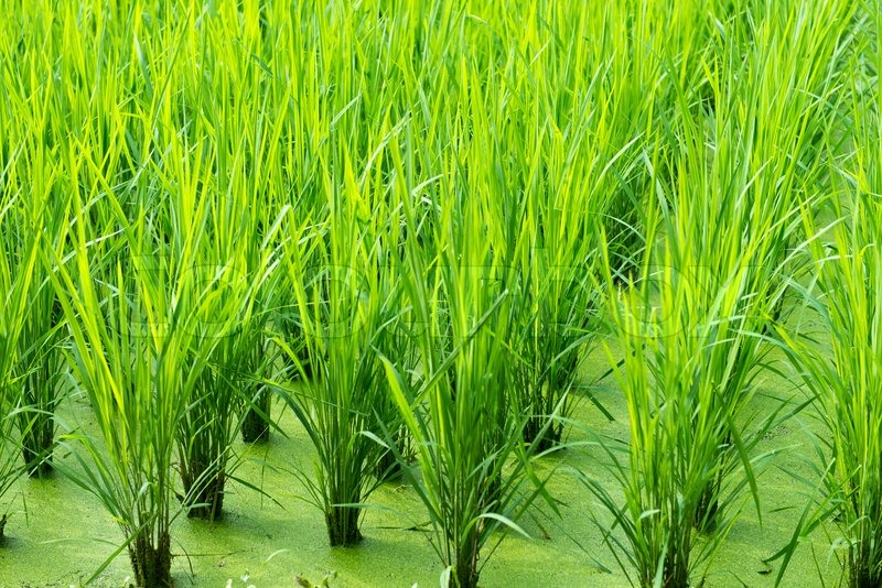 Green Rice Field Background With Young Rice Plants Stock