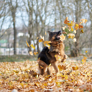 Maple Leaf Wallpaper For Fall Season German Shepherd Dog Playing With The Yellow Maple Leaves