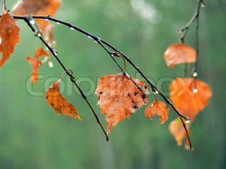 Birch Tree Fall Wallpaper Close Up The Branches With The Wet Autumn Leaves Stock Photo