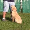 golden retriever in training