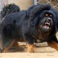aggresive dog