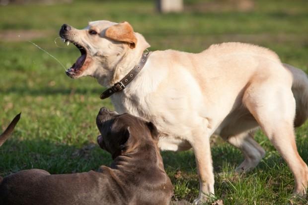 image of Aggressive Dog