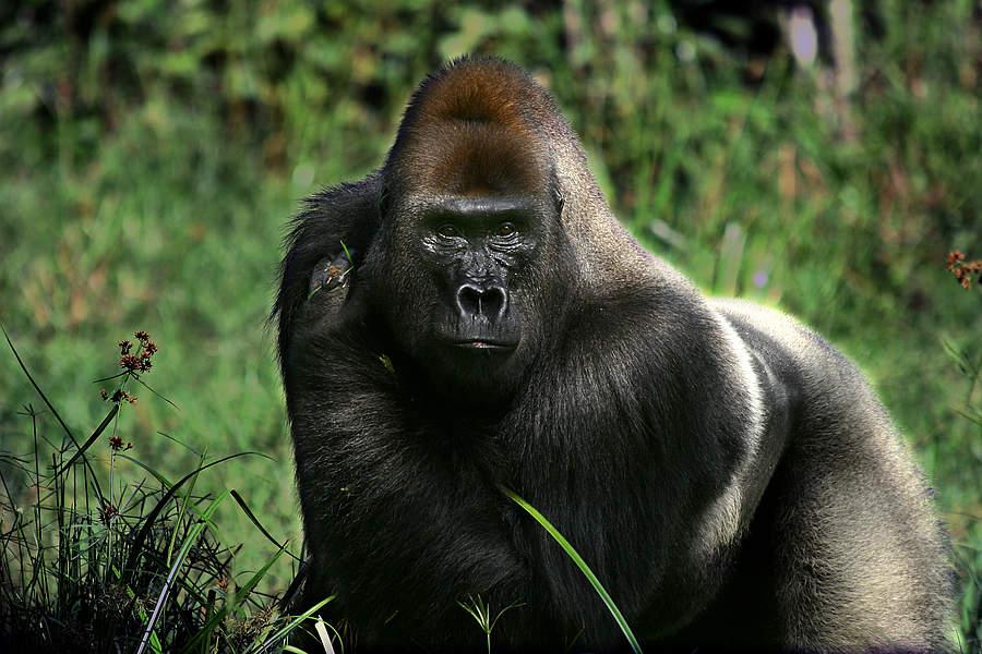 Mk Name Wallpaper Hd Meet The Gorillas Of Dzanga Sangha Wwf