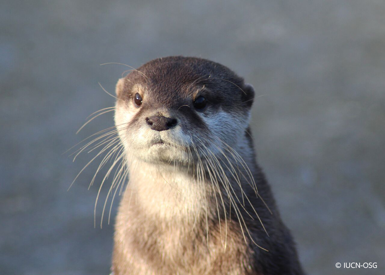 Pet Otter Australia Southeast Asia S Appetite For Pet Otters Supplied Online Wwf