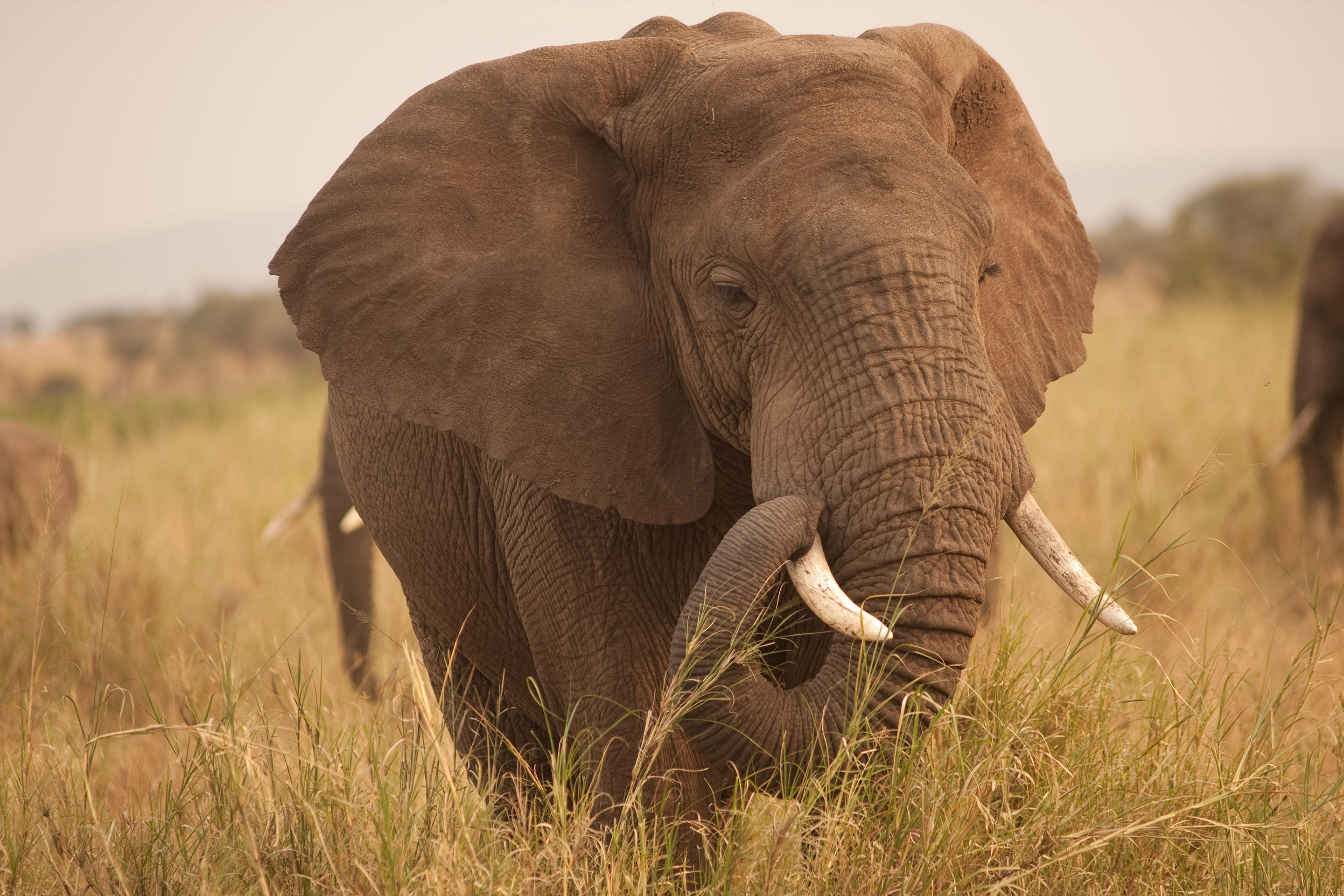Photos éléphants A Zombie Gene Protects Elephants From Cancer Quanta Magazine