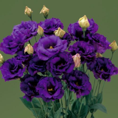 Lisianthus - Corelli 3 Blue Friends School Plant Sale