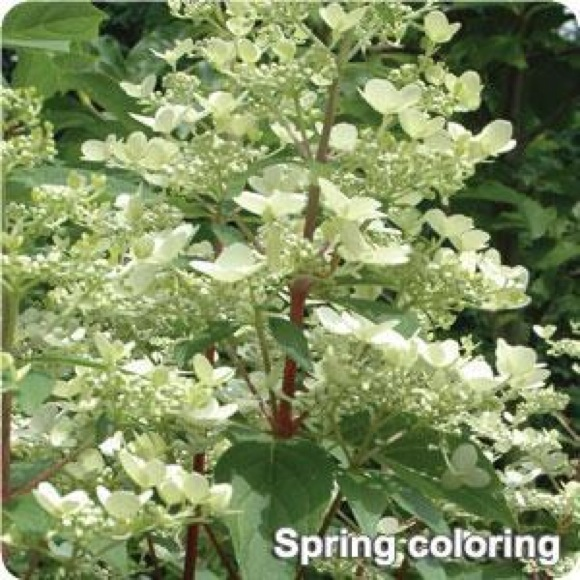 Hydrangea Flower Color Hydrangea, Panicled - Fire And Ice | Friends School Plant Sale