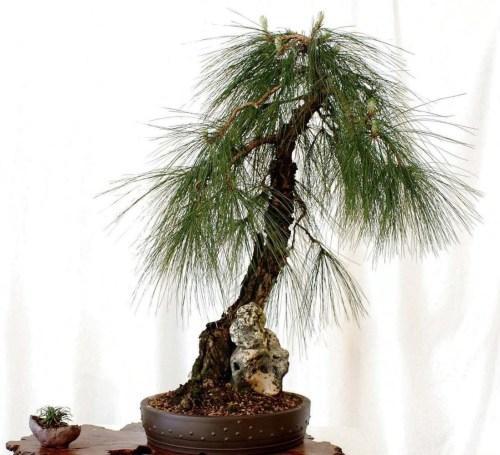 Medium Of Pine Tree Seeds