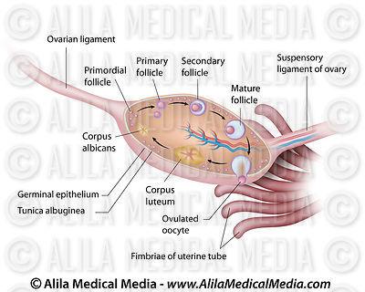 Alila Medical Media Gynecology  Obstetrics Images  Videos