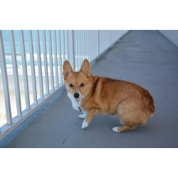Small Crop Of Corgi With Tail