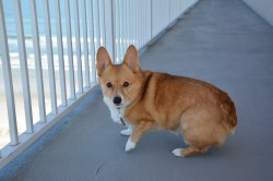 Small Of Corgi With Tail