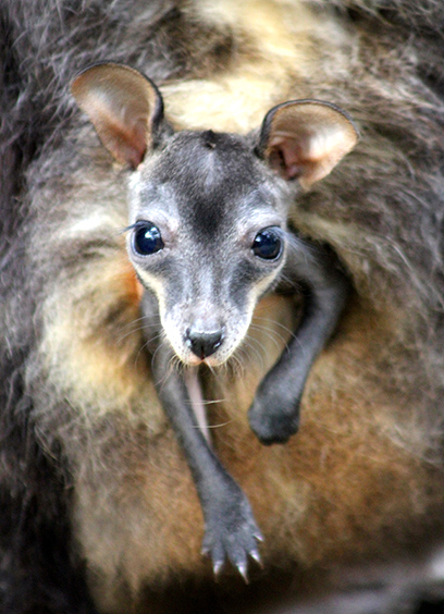 Cute Baby And Mother Wallpaper Endangered Brush Tailed Rock Wallabies Born Australian