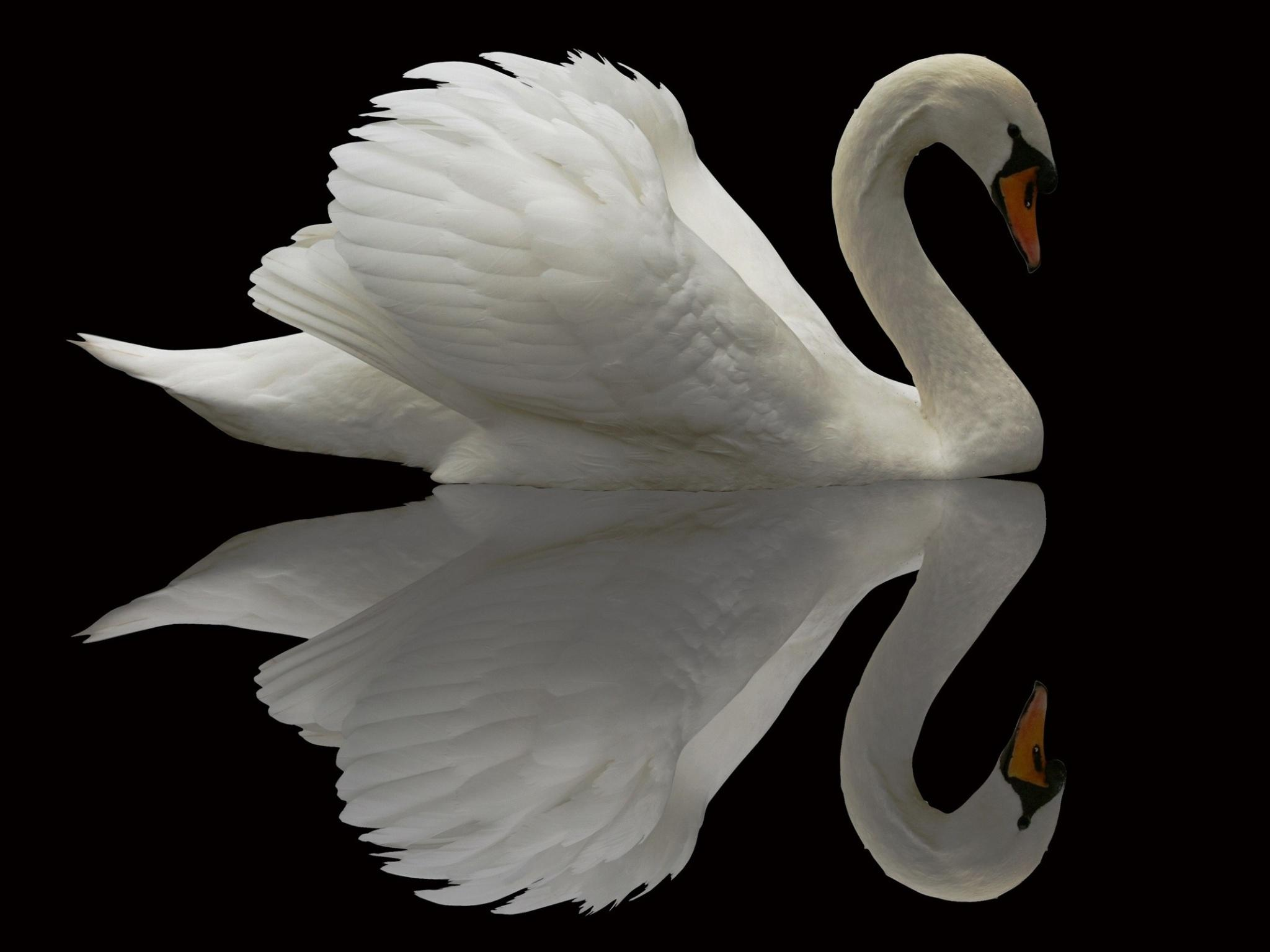 Beautiful Quotes For Friends With Wallpaper White Swan Reflection In A Black Lake Faxo Faxo