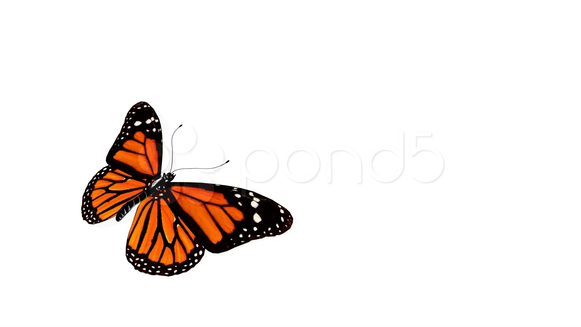 Flying Butterfly Animated Video Butterfly Animation Includes Alpha Channel