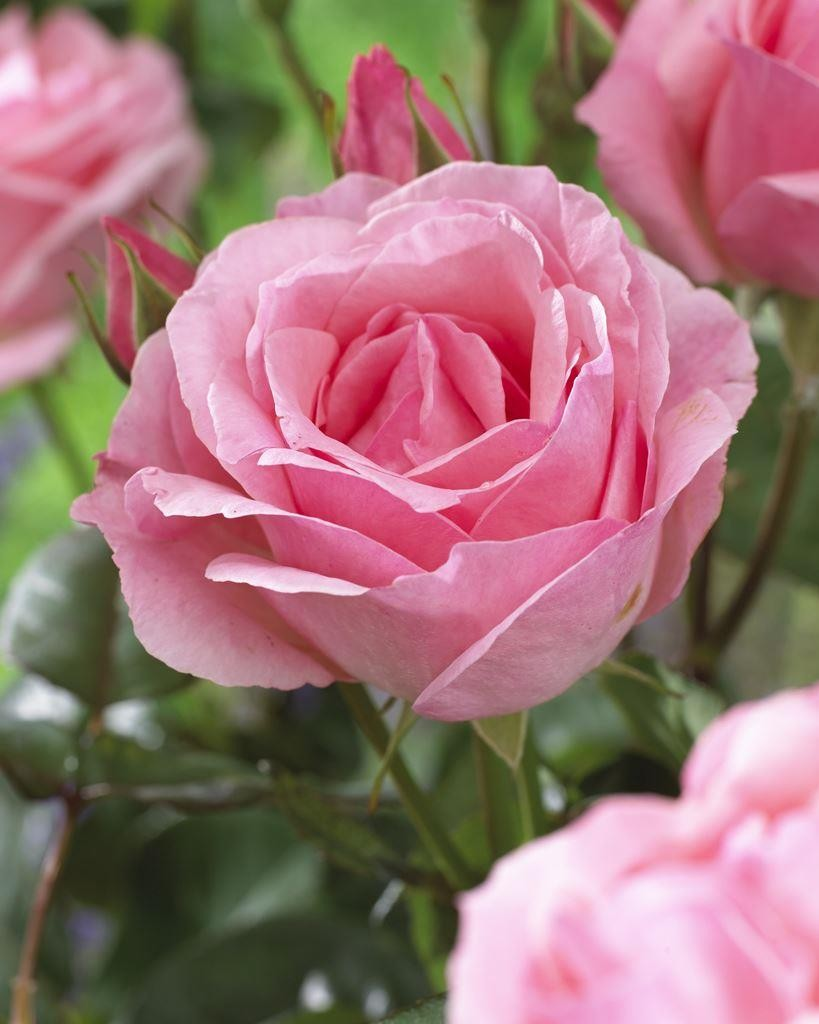 Fullsize Of Queen Elizabeth Rose