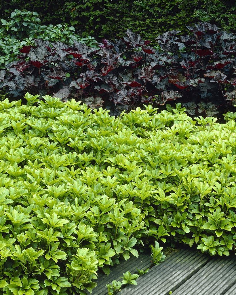 Fullsize Of Pachysandra Ground Cover