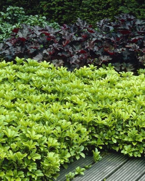 Medium Of Pachysandra Ground Cover