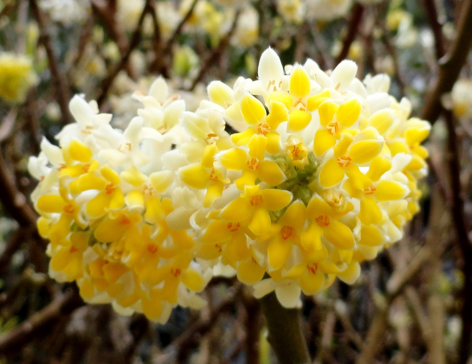 Lantana Kopen Special Deal Edgeworthia Chrysantha Nanjing Gold Paperbush Large Heavy Specimen Plants