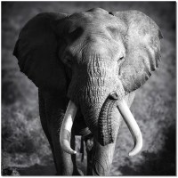 Black and White Elephant Power Wall Art from JNM | Coleman ...