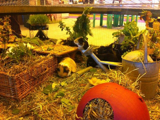 Caring for Your Guinea Pig in Winter - Preloved UK