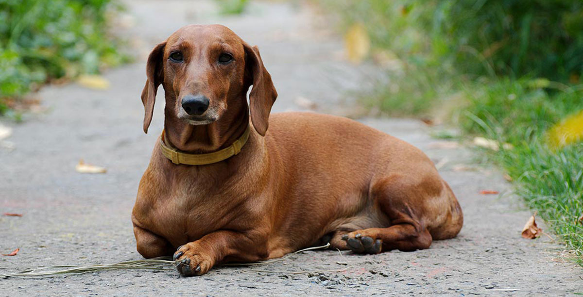 Puppies In Fall Wallpaper Dachshund Dog Breed 101 Info Puppies Training More