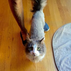 My moms cat got a shave job and now shehellip
