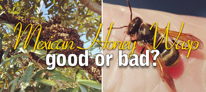 Mexican Honey Wasp: Good or Bad?
