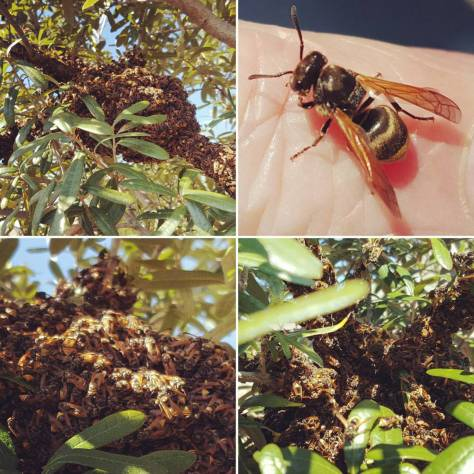 Mexican Honey Wasps