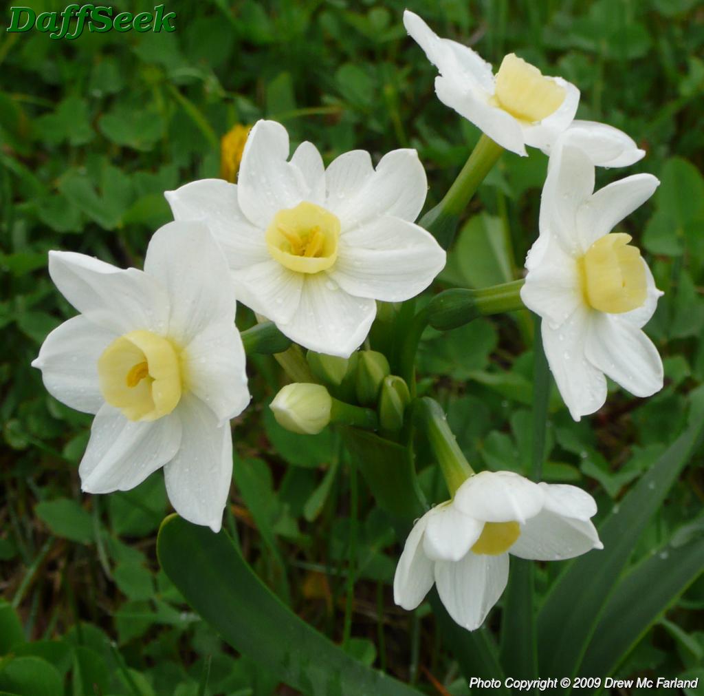 Daffodils Wallpaper Hd White Daffodil Www Imgkid Com The Image Kid Has It