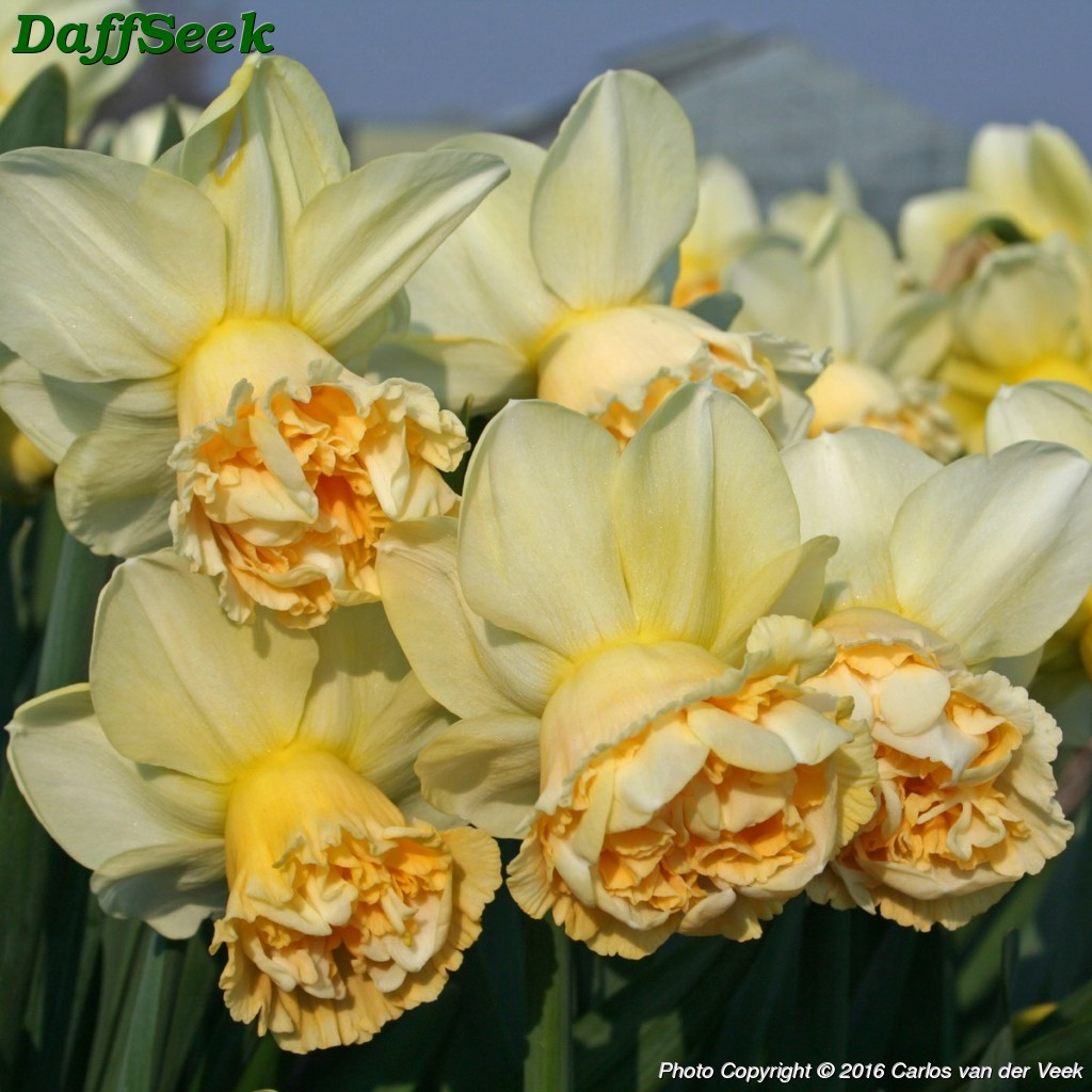 Design Art Daffodil Narcissus Quotart Design Quot Details In The Daffseek